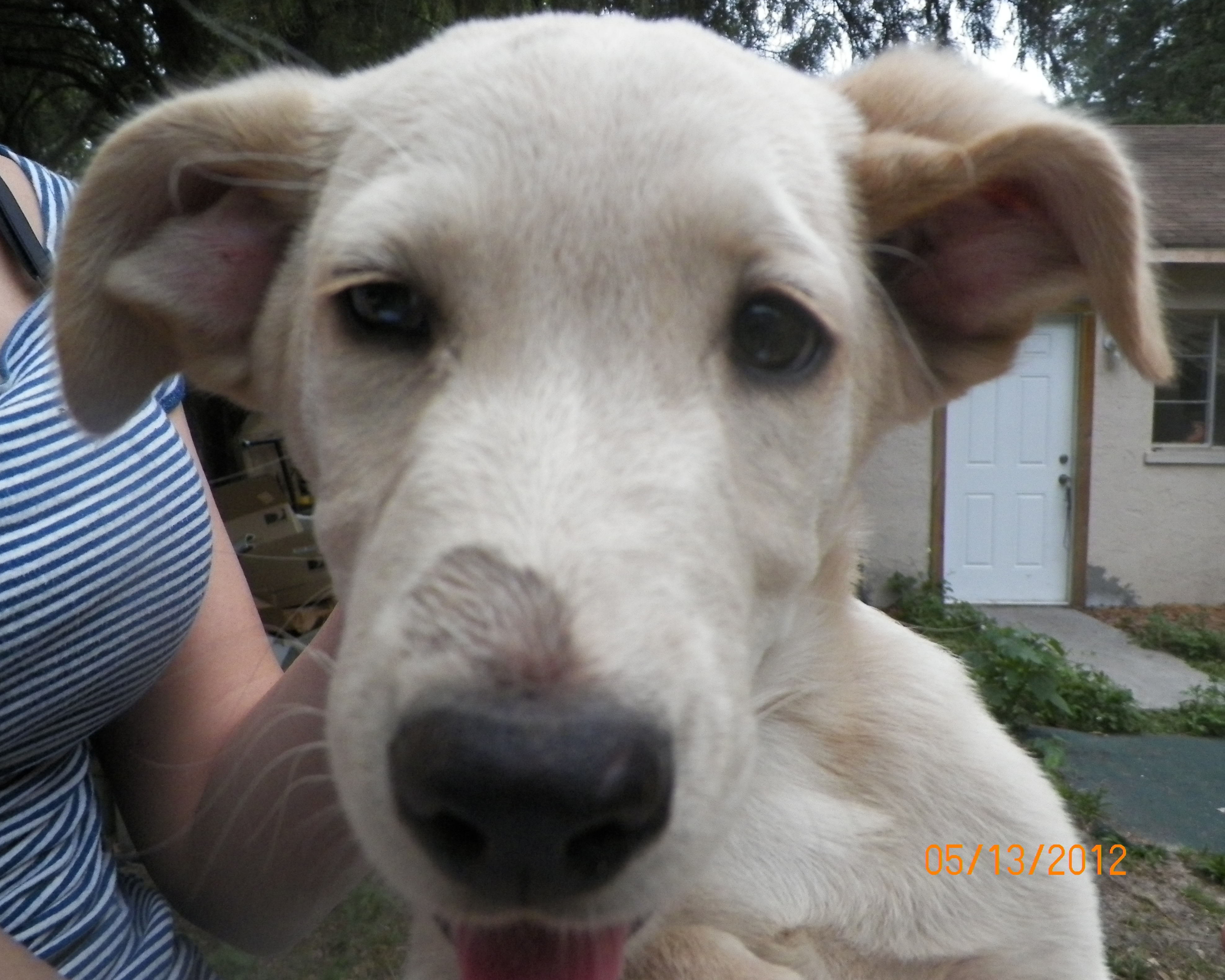Yellow Lab Puppy Needs a Home!