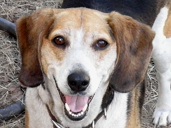 Sebastian - Beagle - Needs a Home